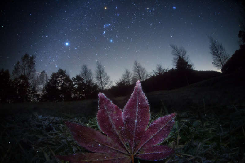 Frosted Leaf Orion