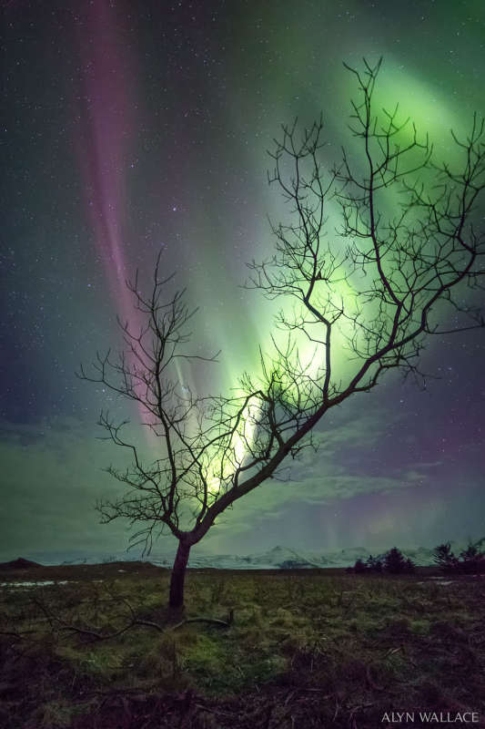 The Aurora Tree
